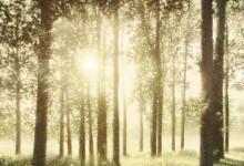 Mixed media image of sunlit poplars