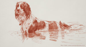 Springer Spaniel Bonzo in the pond