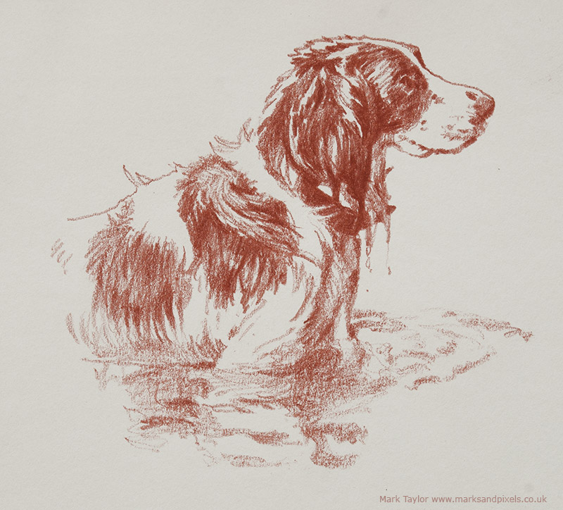 Pet portraits Springer Spaniel Bonzo